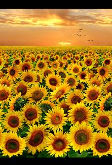 Sunflowers - Evening