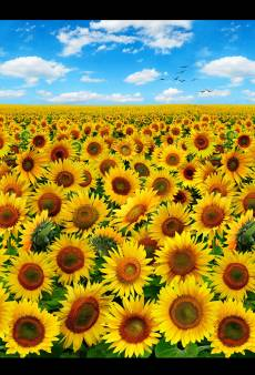 Sunflowers - Morning